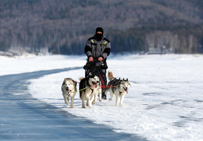 Siberian Huskys er meget aktive og skal gerne løbe op mod 20 km om dagen.
