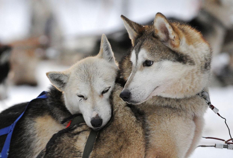 Racen er meget social og vil gerne være sammen med andre hunde. Sådan er de avlet, fordi de skal fungere godt i et hundespand foran en slæde.