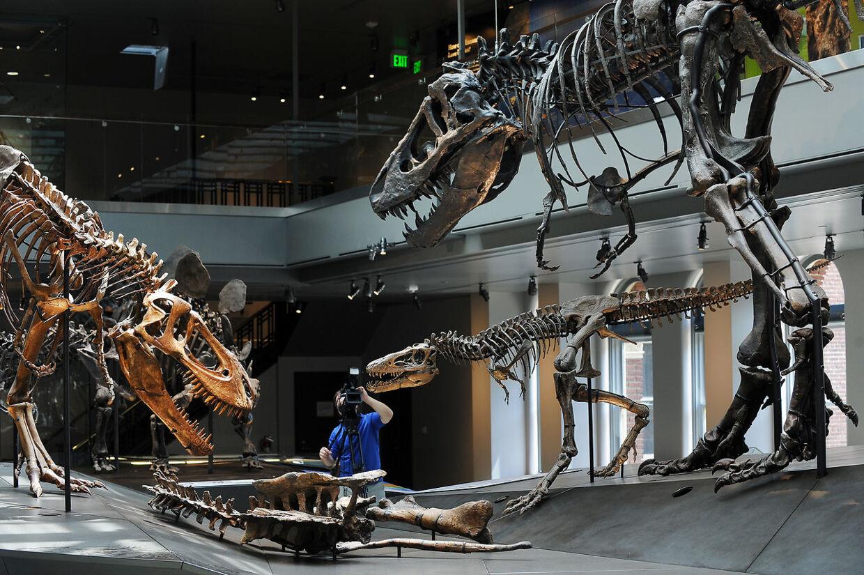 T-Rex-fossiler i forskellige størrelser.