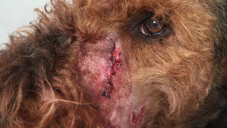 Her er hunden Tox, der blev bidt af en anden hund.