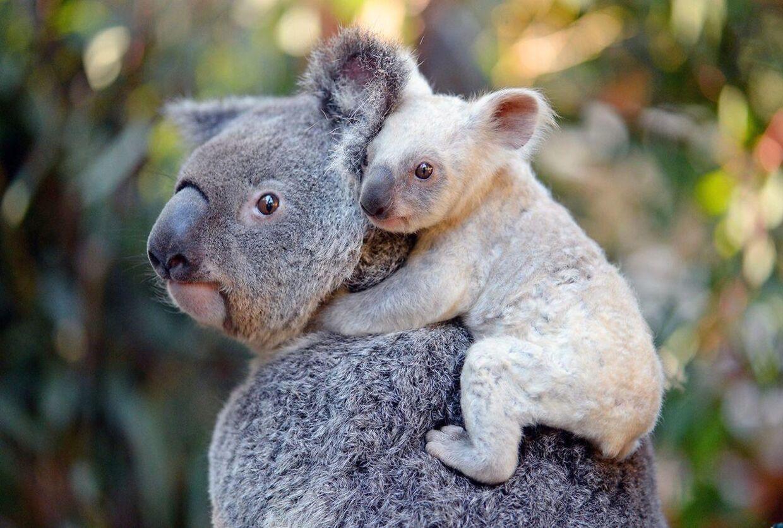 De australske koalabjørne er presset i den australske natur. Her ses et sjældent hvidt eksemplar på ryggen af sin mor i Australia Zoo, Beerwah. Arkivfoto.