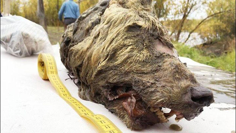 Den forhistoriske ulvs hoved måler 40 centimeter i længden, hvilket er halvt så stort som hele kroppen på en moderne ulv.