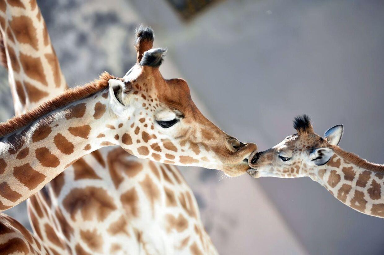 Giraffer i en fransk zoologisk have.