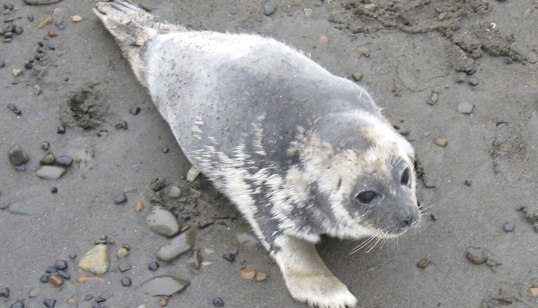 En lang række døde sæler er skyllet op på kysterne i Alaska (Arkivfoto)