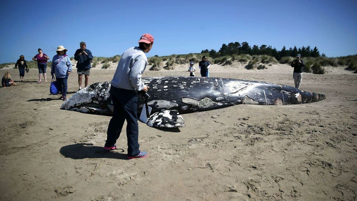 POINT REYES STATION, CALIFORNIA - MAY 25: Beachgoers look at a dead juvenile Gray Whale on Limantour Beach at Point Reyes National Seashore on May 25, 2019 in Point Reyes Station, California. Scientists with The Marine Mammal Center examined the thirteenth Gray Whale that washed up dead on a San Francisco Bay Area beach to try and determine what is killing the whales. Dozens of Gray Whales have been found dead along the Pacific Coast between California and Washington since the beginning of the year, many exhibiting signs of malnutrition. Justin Sullivan/Getty Images/AFP == FOR NEWSPAPERS, INTERNET, TELCOS & TELEVISION USE ONLY ==