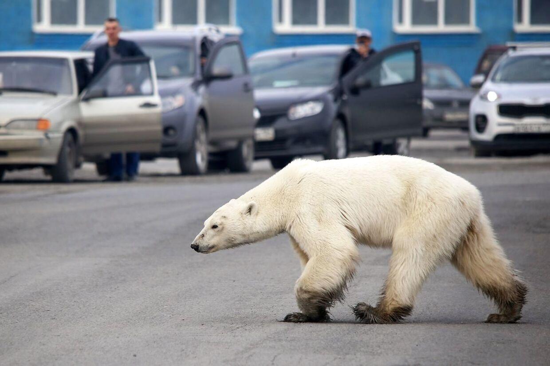En omvandrende isbjørn ses her i en russisk by 17. juni 2019 - hundreder af kilometer fra dens oprindelig beboelse.