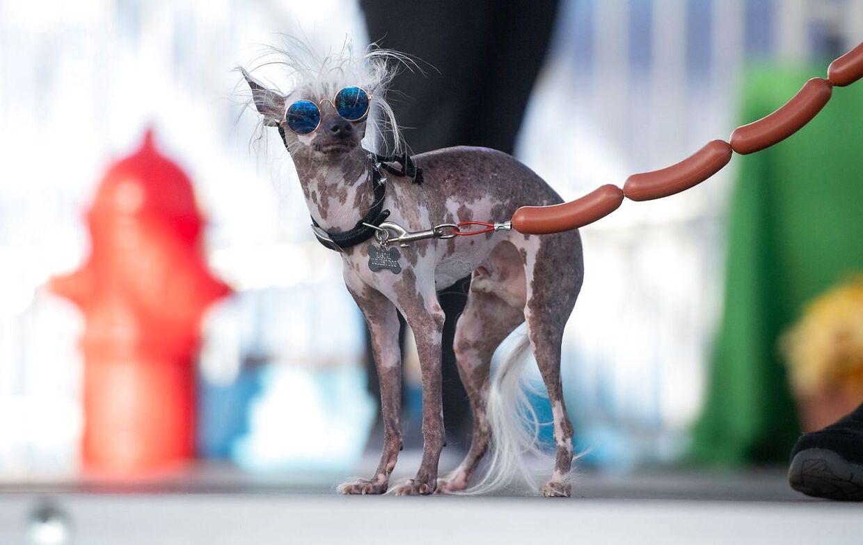 Rascal Deux, en naturligt hårløs hund, med et spøjst ansigt, klarede sig ikke blandt de fire bedste hunde i konkurrencen.