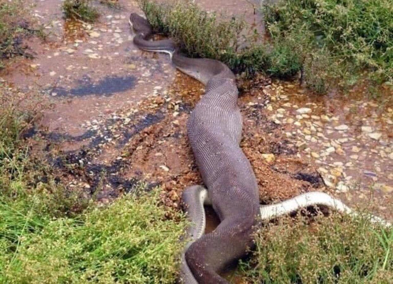Såda ser en oliven pythonslange ud, når den netop har fortæret en ferskvandskrokodille.