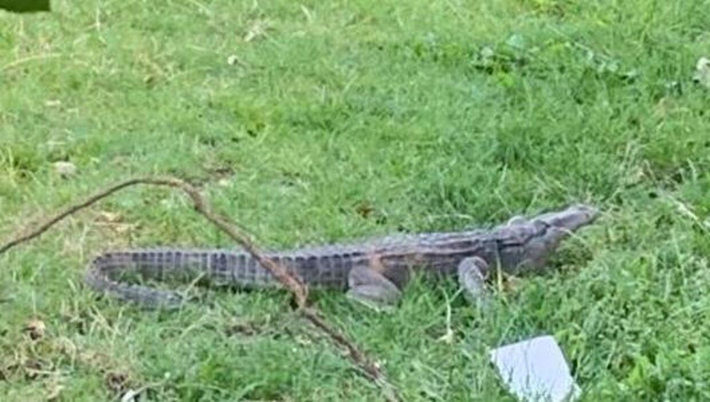 Her ses det billede, Københavns Vestegns Politi fik sendt ind, da de blev kaldt ud til en alligator i Rødovre. Den viste sig at være lavet af plastik.
