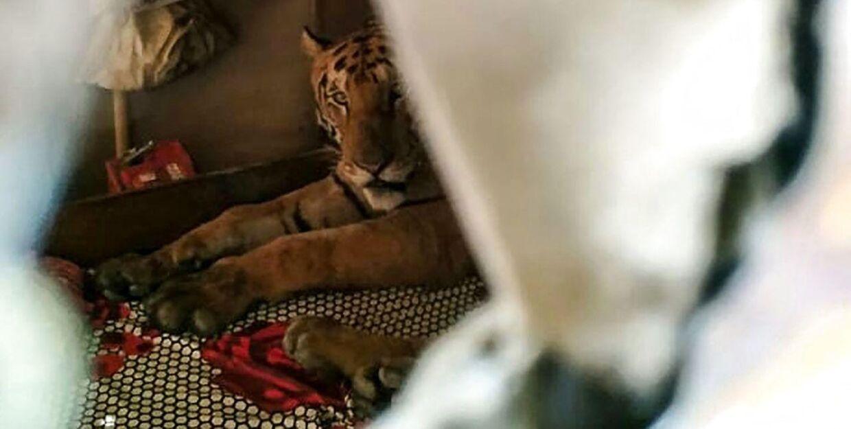 En tiger har søgt ly i en families hjem på grund af monsunen i delstaten Assam, der også påvirkede den nationalpark, hvor tigeren normalt har hjemme.