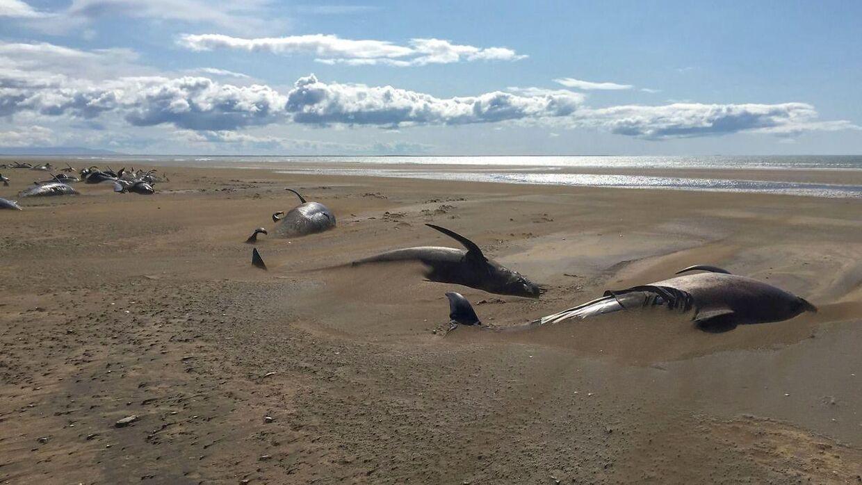 De døde hvaler lå på en lang række.