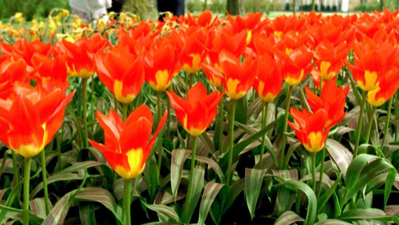 Frieriet udspillede sig i en blomstermark i Abild. Arkivfoto.