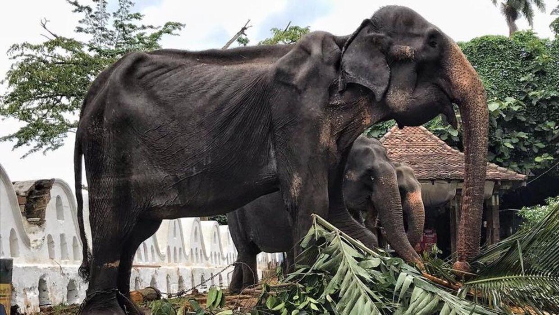 Den 70-årige elefant Tikiiri skal bruges til en ti dage lang festival i Sri Lanka.