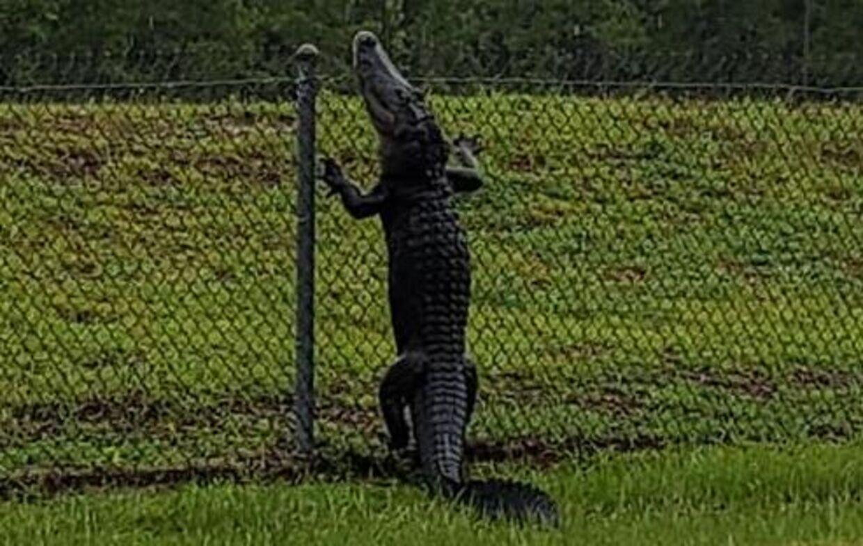 En alligator på vej over hegnet ind til flådebasen i nærheden af Jacksonville i Florida, USA.