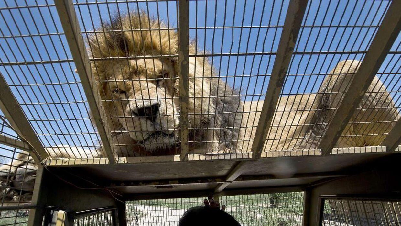 Det her er bare en tilfældig løve, der ikke har noget med Leon van Biljon at gøre.