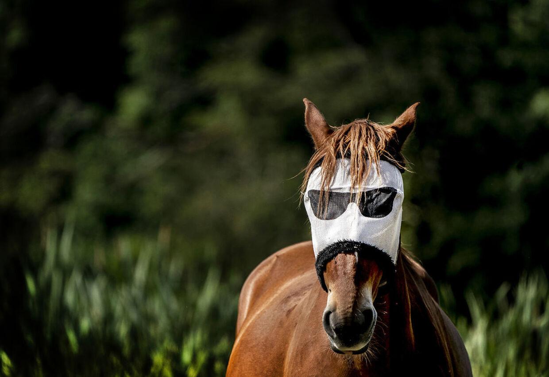 Selv hestene skal måske til at finde solbrillerne, der rettelig er et fluenet, frem igen, efter DMI varsler hedebølge de næste tre dage med temperaturer op til 30 grader. Arkivfoto.