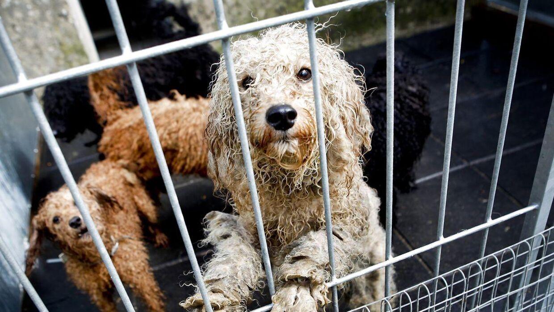 (ARKIV) Hunde indbragt til Sheiksgaard Dyrecenter, den 26. april 2012. Retten idømte østjysk kvinde betinget fængselsstraf for vanrøgt af 61 hunde. Dyrenes Beskyttelse mener, der skal gøres mere for at standse lyssky hundehandlere. NB: Dette billede stammer fra anden dyreværnssag. Det skriver Ritzau, fredag den 12. oktober 2018.. (Foto: Annelene Petersen/Ritzau Scanpix)