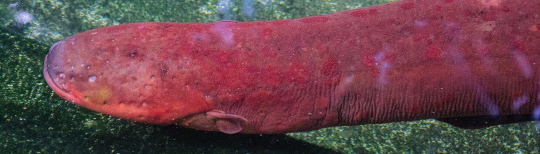 Nye genetiske analyser viser, at den elektriske ål i virkeligheden består af tre arter. Her ser du den nyopdagede Electrophorus varii, der foretrækker at gemme sig i mudret flodvand.
