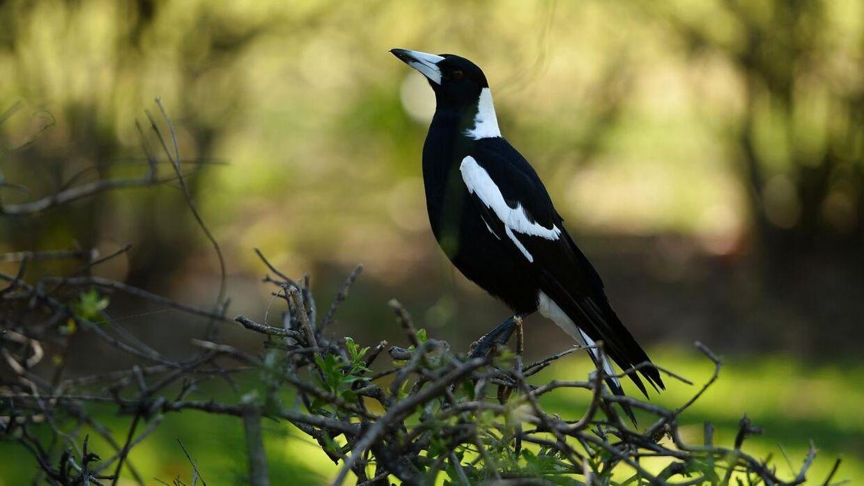 Det gik helt galt, da en 76-årig mand blev angrebet af en aggressiv 'australian magpie'-fugl under en cykeltur.
