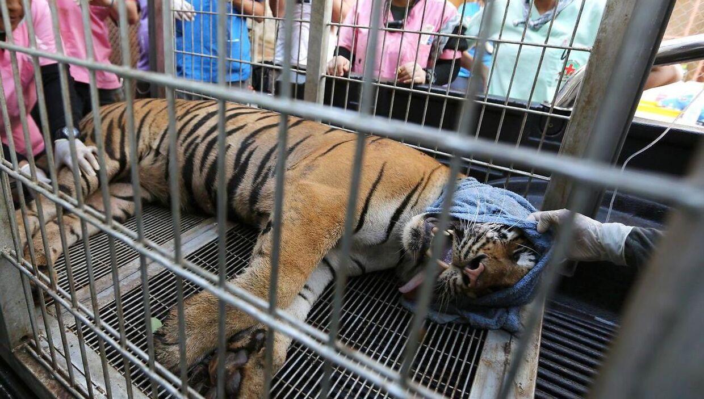 Over halvdelen af de tigre, der for tre år siden blev reddet fra et thailandsk tempel, er døde af sygdom.