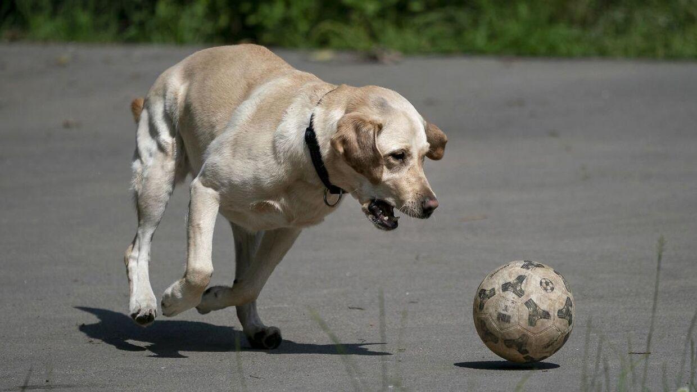 Undersøgelse påviser for første gang herhjemme en sammenhæng mellem overvægt hos hunde og deres ejere.