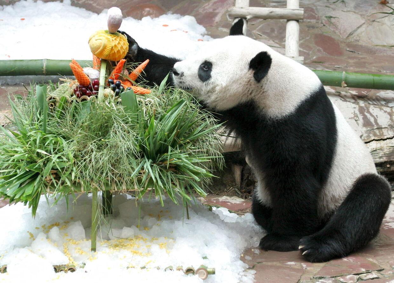 Pandaen Chuang Chuang nyder sin fødselsdagsmiddag i Chiang Mai Zoo.