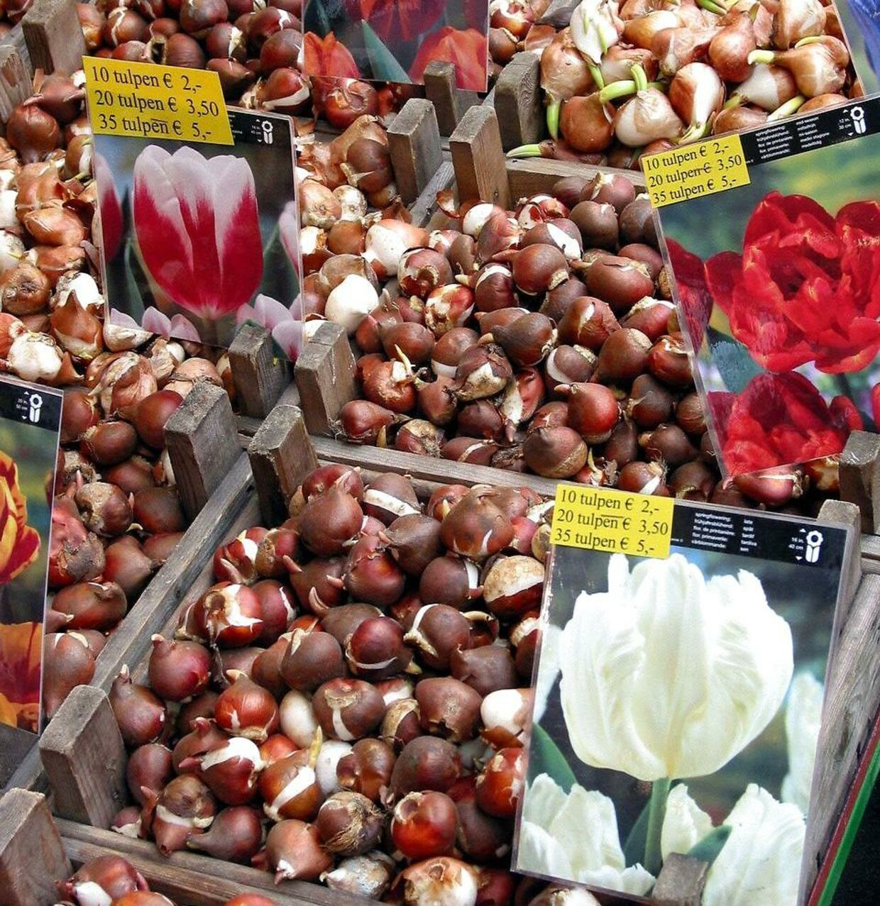 ARKIVFOTO af tulipanløg solgt i Amsterdam.