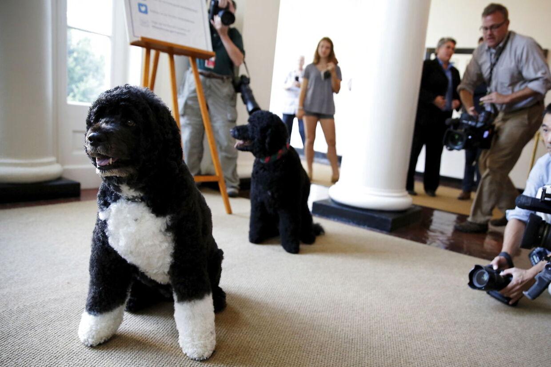 Obama-familiens to hunde Bo (tv) og Sunny stillet op til foto i Det Hvide Hus.