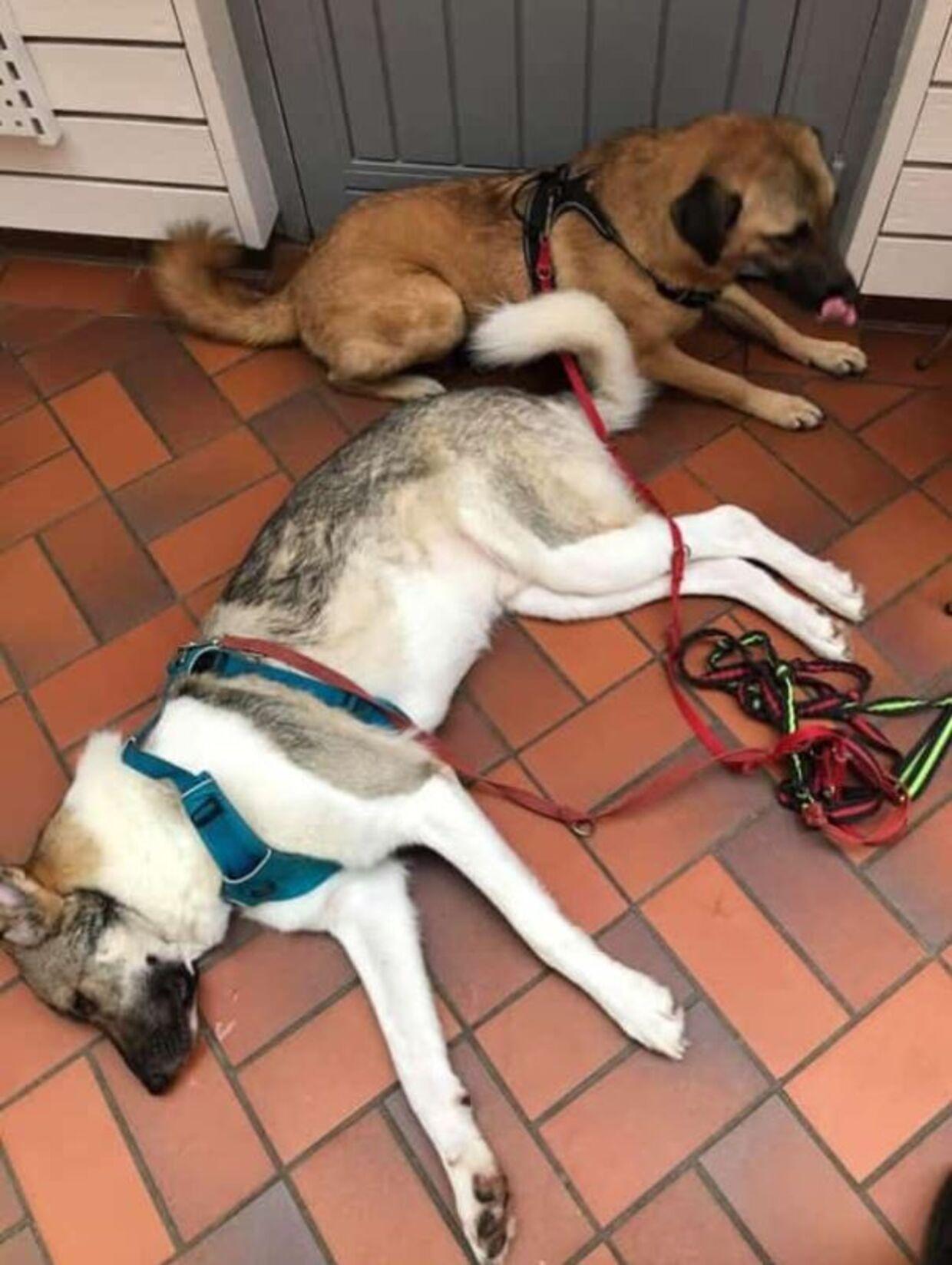 Aslan og Puppy fik sig lidt en af oplevelse søndag aften, da de var ude at gå tur med deres ejer, Samantha Wolf.