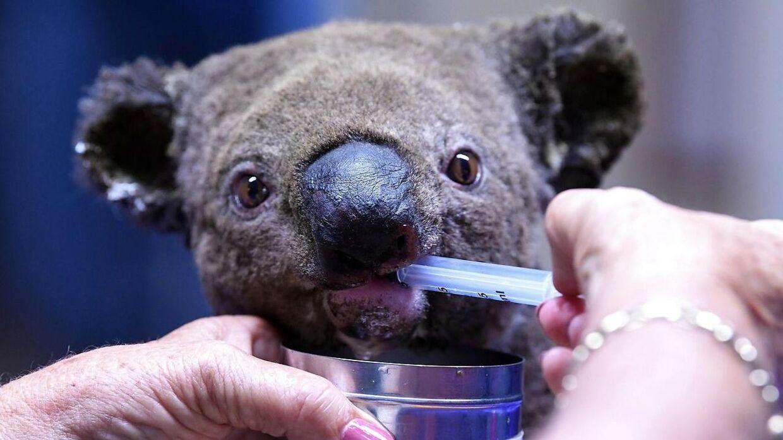 En kvæstet koala modtager behandling.