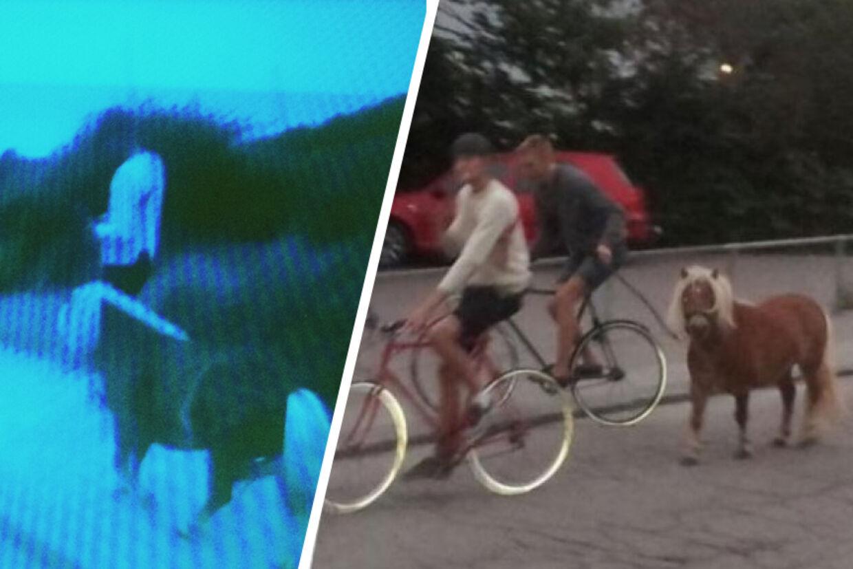 Billederne heroveer viser ponyen på vej til at møde sit endeligt: Til højre trækker to unge mænd på cykler hesten efter sig og til venstre bliver hesten trukket ned på standen i Tisvildeleje.