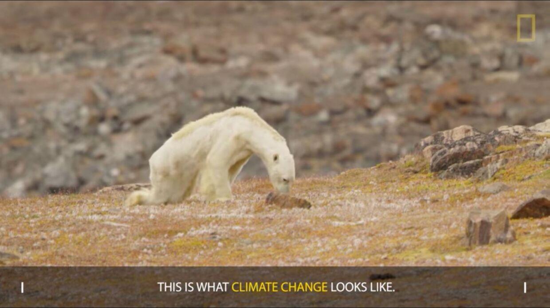 Isbjørnen fra videoen vist på National Geographic – med mediets egen tekst om klimaforandringer. National Geographic måtte siden trække i land, da det ikke kunne bevises, at den pågældende isbjørns forfatning skyldtes klimaforandringer eller f.eks. sygdom.