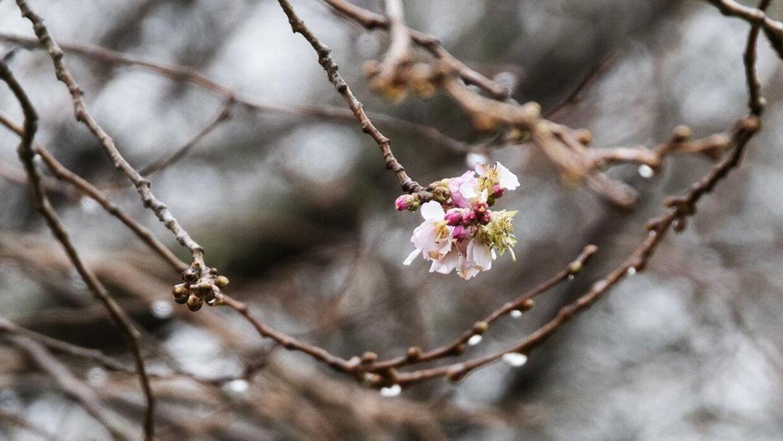 De første blomster på kirsebærtræerne er allerede begyndt at blomstre. Nynne Frost Andersen - TV 2 Lorry/