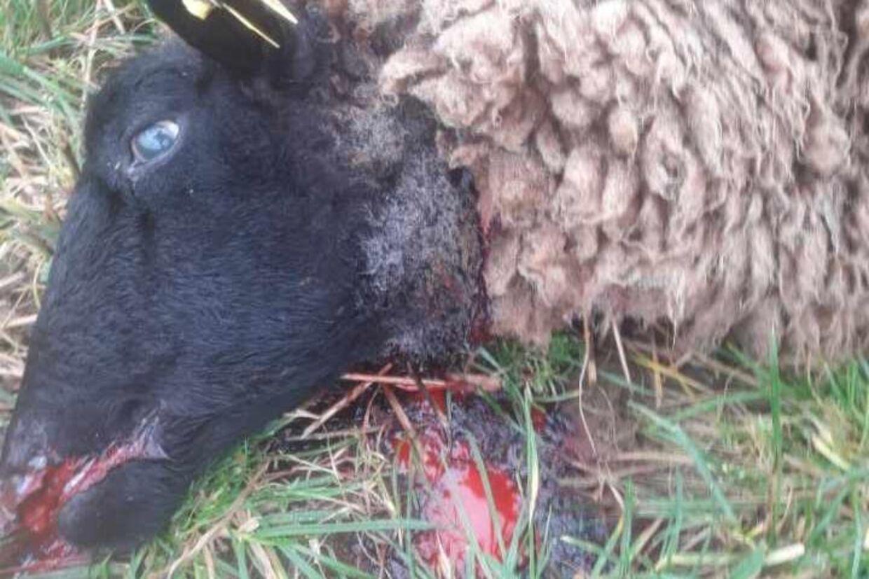 Et af de 24 dræbte får.