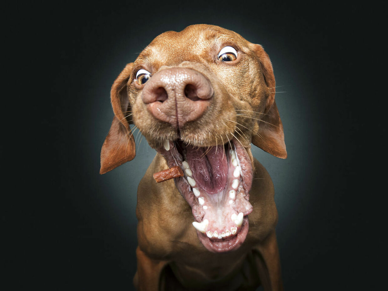 Vizsla-hunden Cooper. Christian Vieler/Caters News
