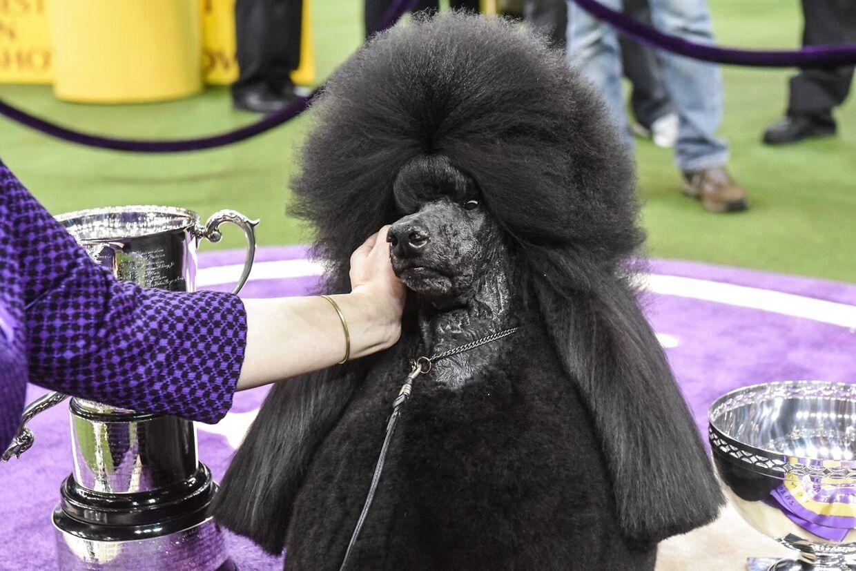 Puddelhunden Siba er kåret til Amerikas bedste hund ved et kæmpestor hundeshow i Madison Square Garden i New York. Det 144-tyvende Westminster Kennel Club Dog Show!
