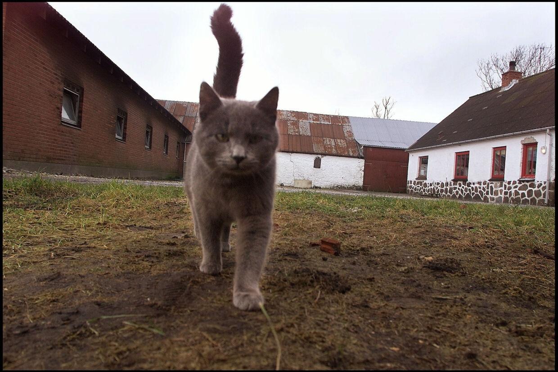 Når katte stikker af hjemmefra, så er det ofte umuligt at finde ejeren igen, fordi mange katte ikke er øremærkede. (Arkivbillede) Henning Bagger/Ritzau Scanpix
