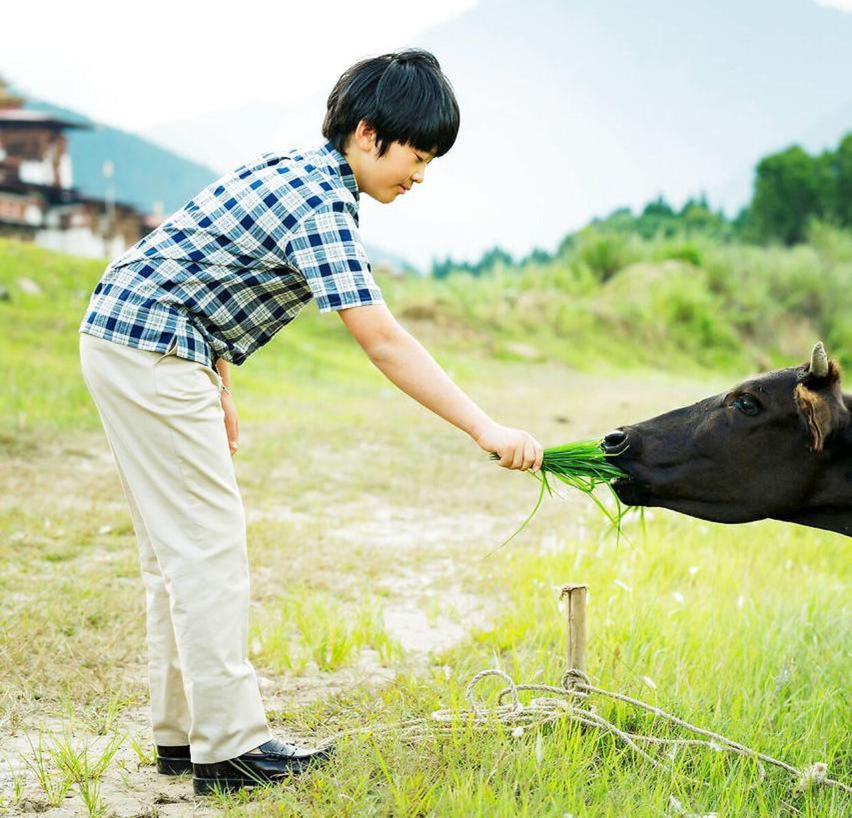 Prins Hisahito giver en ko græs på marken i Punakha.