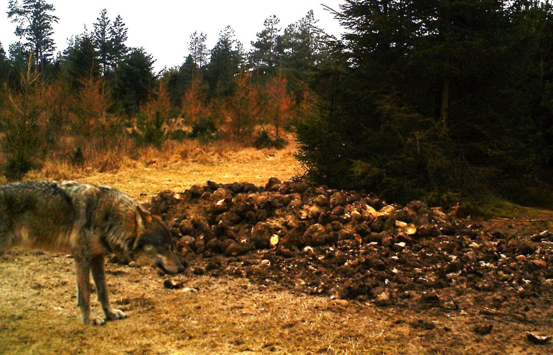 En ulv fotograferet af et vildtkamera på Harrild Hede søndag morgen d. 24. februar 2013.