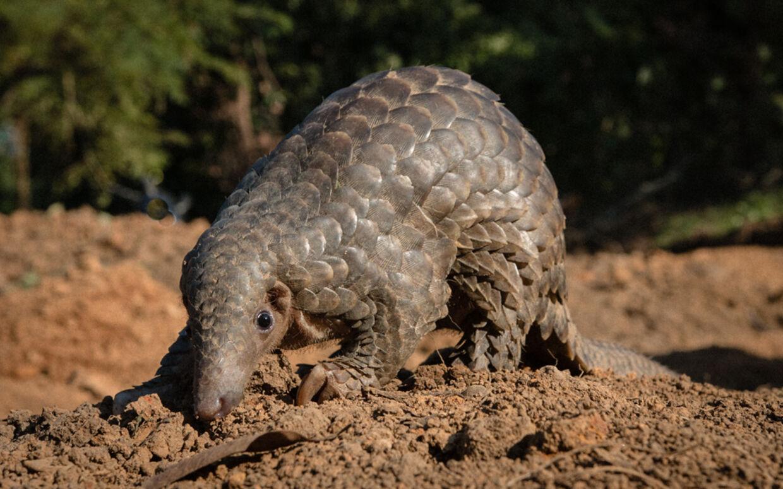 Skældyr. Foto: World Animal Protection.