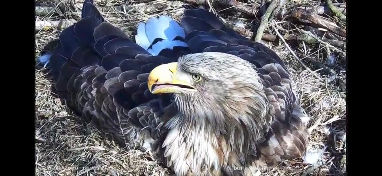 Havørne-hunnen i den tv-overvågede rede ved Hyllekrog på Lolland kom forleden til at knække et af sine tre æg.