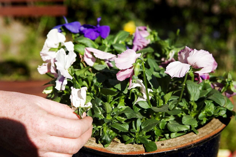 Stedmoderblomster er sammen med hornviol oplagte planter i altankassen eller krukkerne lige nu.
