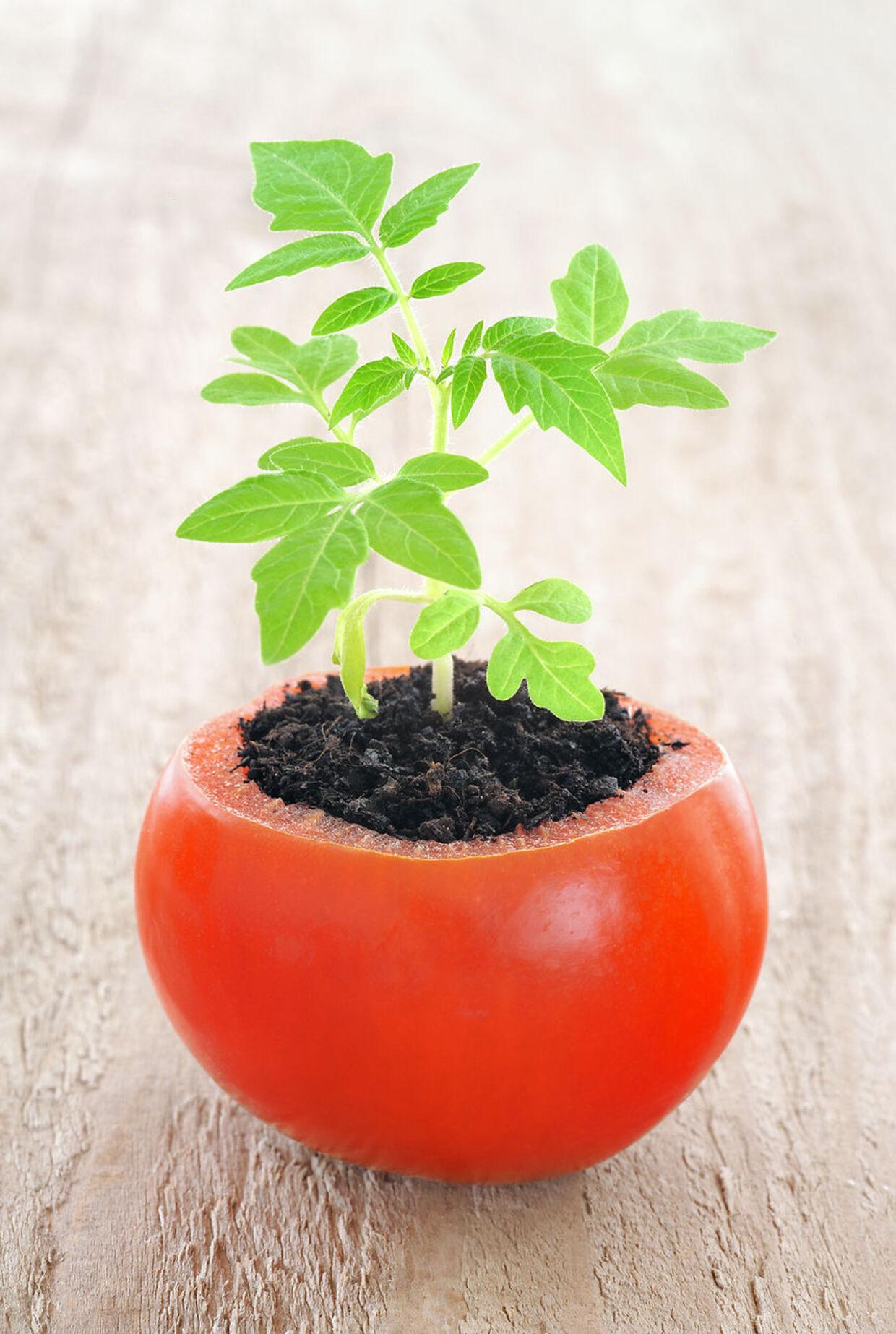 Tomatspirer kræver ikke meget plads for at kunne gro frem.