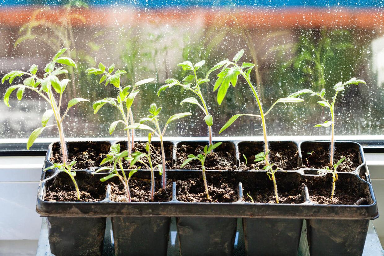 Ungerne vil elske at holde øje med de voksende spirer i vindueskarmen.
