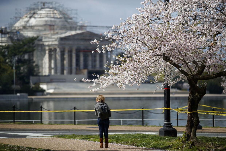 I Washington D.C. blomstrer kirsebærrene. Men antallet af turister er til at overskue.