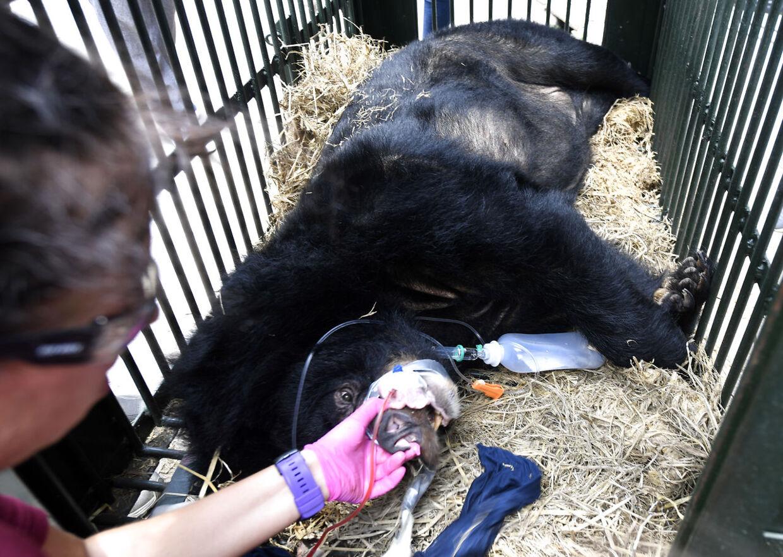 En dyrlæge fra en dyrerettighedsorganisation undersøger en bjørn, der er blevet reddet fra en bjørnegaldefarm.