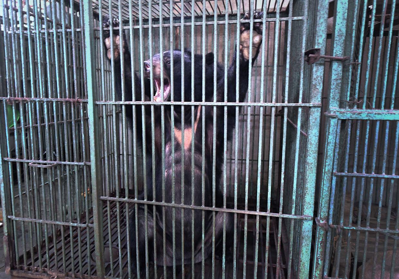 En bjørn, der er blevet reddet fra en bjørnegaldefabrik