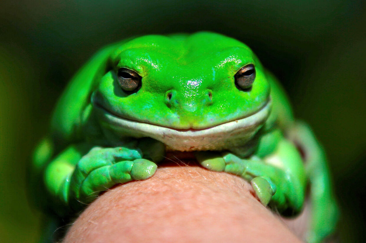 "An Australian Green Tree frog named ""Godzilla"" sits on the hand of Kathy Potter of the Frog and Toad Study Group during the launch of the Australian Museum's national frog count phone app called ""FrogID"" in Sydney, Australia, November 10, 2017. REUTERS/David Gray TPX IMAGES OF THE DAY"