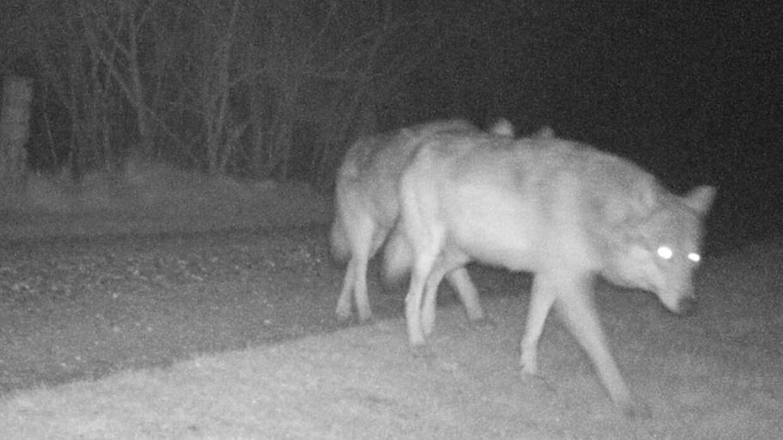 Her ses ulvene, der i weekenden blev fanget på kamera ved Ulfborg.