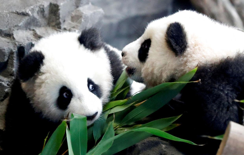 Berlins pandatvillinger hedder Paule (Meng Yuan) og Pit (Meng Xiang). Her ses de under deres første optræde udendørs den 29 januar 2020.